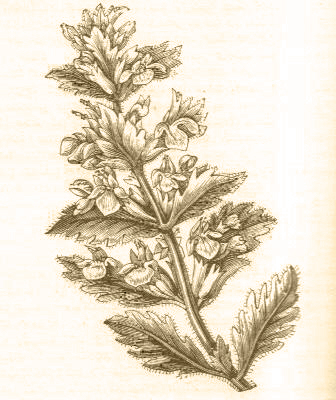 Germander Teucrium
