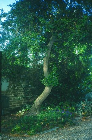 Fig 2 - A mature boxwood tree (Photo: E. Braimbridge)