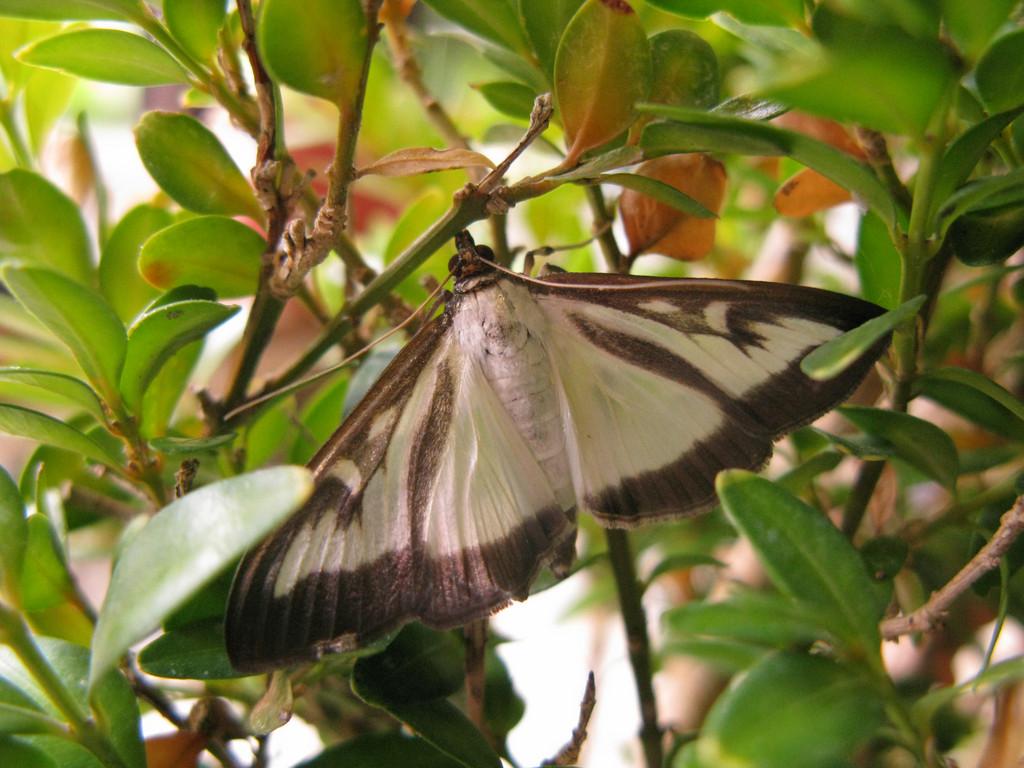 Box Tree Moths – The next blight?