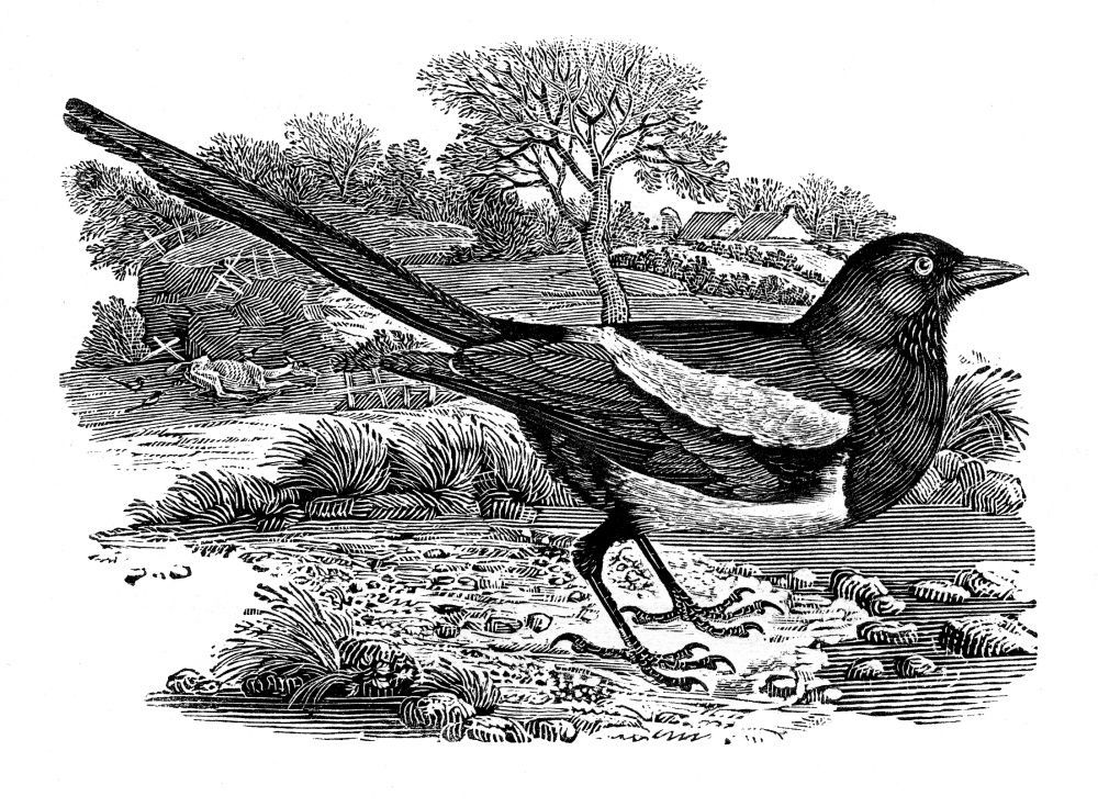 'The Magpie' an engraving by Thomas Bewick