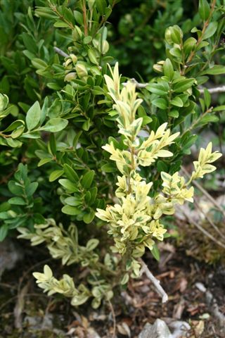 How does hot weather affect boxwood 07