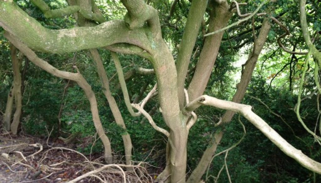 Wild boxwood in the Chilterns
