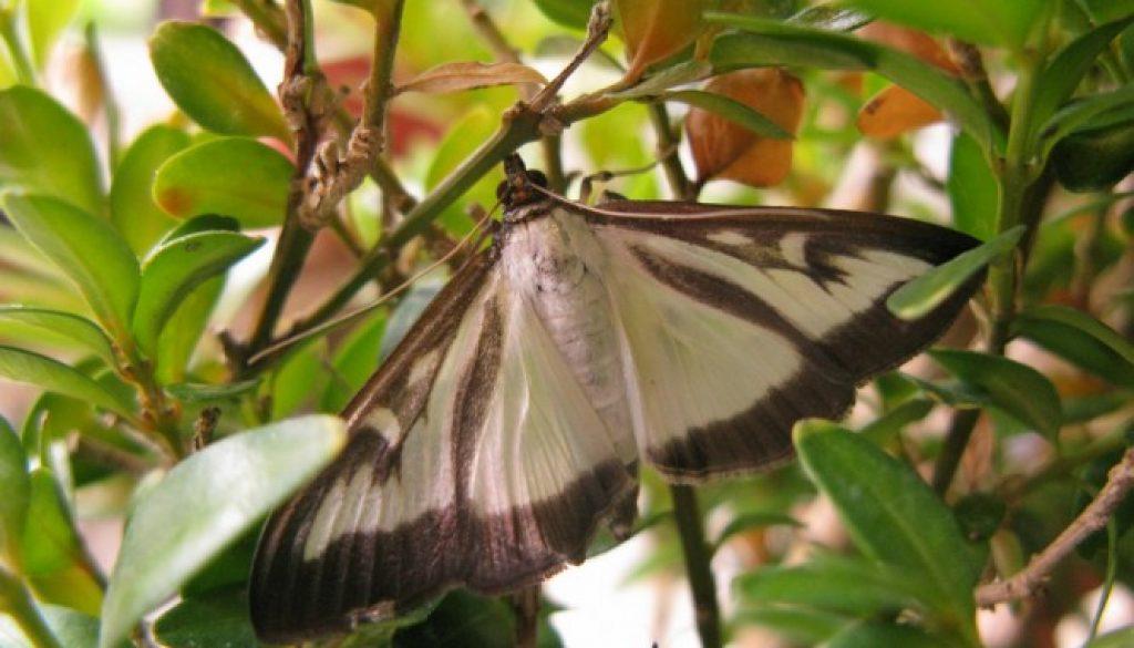 Box Tree Moth - Photo copyright Royal Horticultural Society