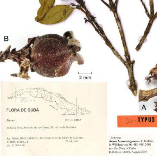 The Treatment of Buxaceae