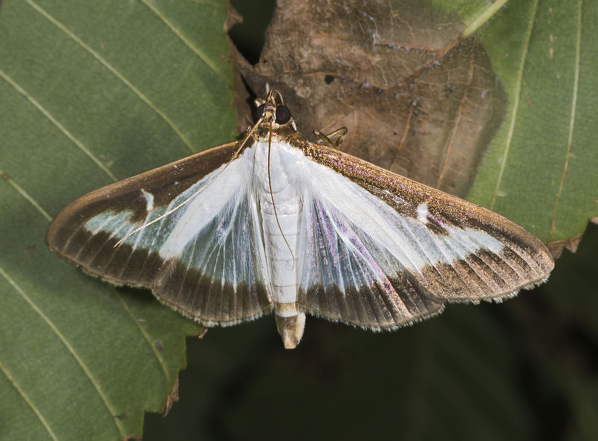 Increased infestations by Box Tree Moths