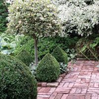 20150705 The Old Vicarage standard holly with 4 box pointed cubs and balls