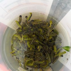 Asian box moth caterpillars