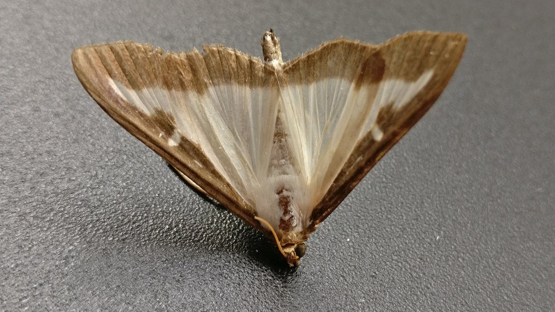 Box Tree Moth dead close up