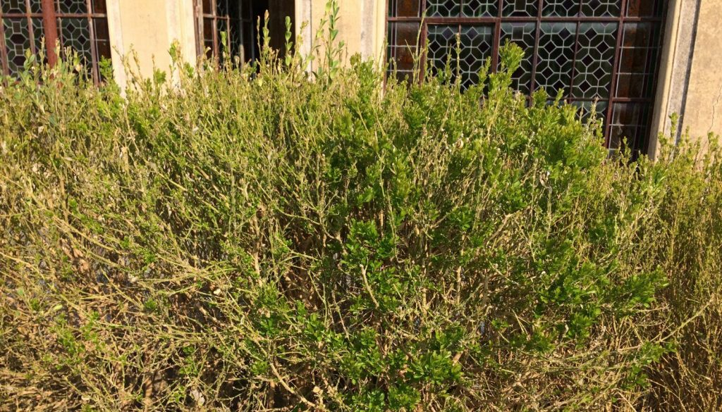 2017-09-08-1359 - lots of growth on terrace hedge HL