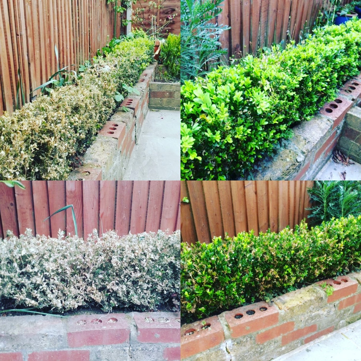 Box hedge recovering well after infestation