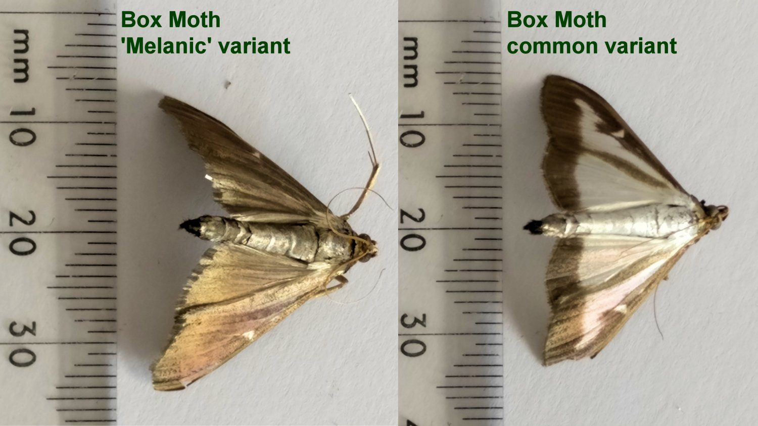 The two different variants of the box tree moth