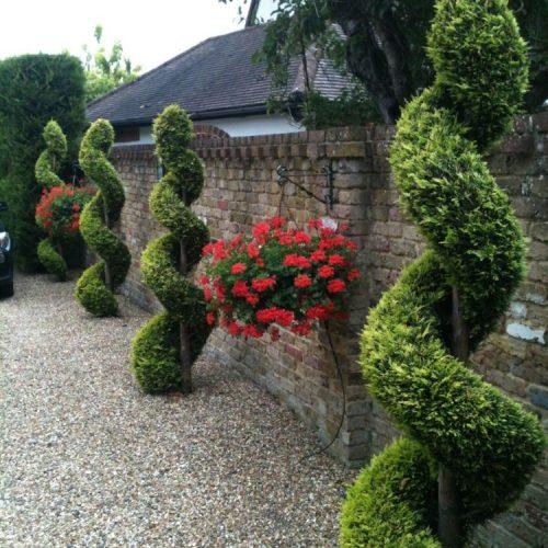 Private house - Bray near Windsor - UK - 2014 - Cupressocyparis leylandii spirals