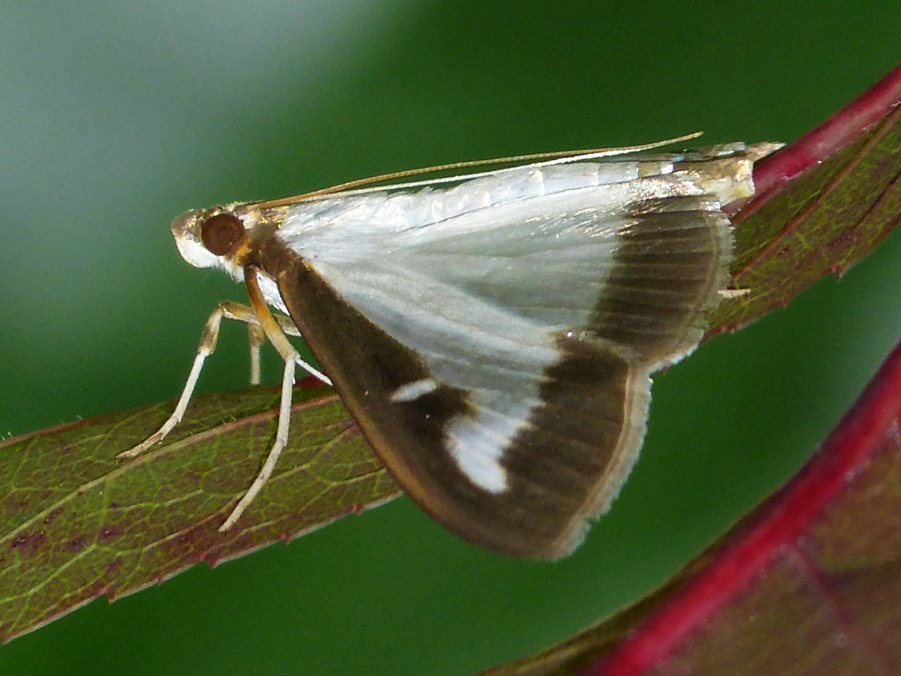 Karen Yukich's photo of her box moth sighting © Karen Yukich CC by NC some rights reserved