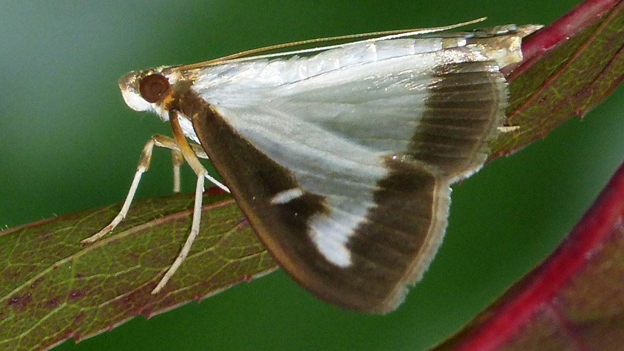 Karen Yukichs photo of her box tree moth sighting in Toronto