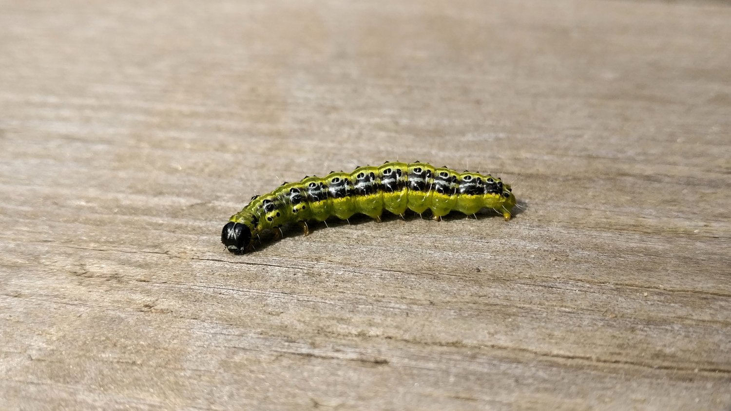 Mature box tree caterpillar