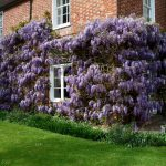 Wisteria Pruning