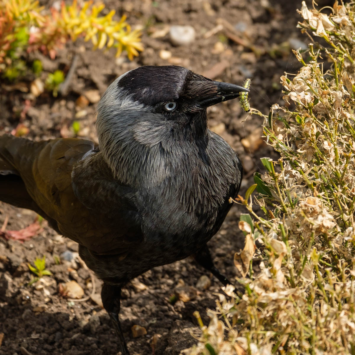 Jackdaw eating a box moth caterpillar_4