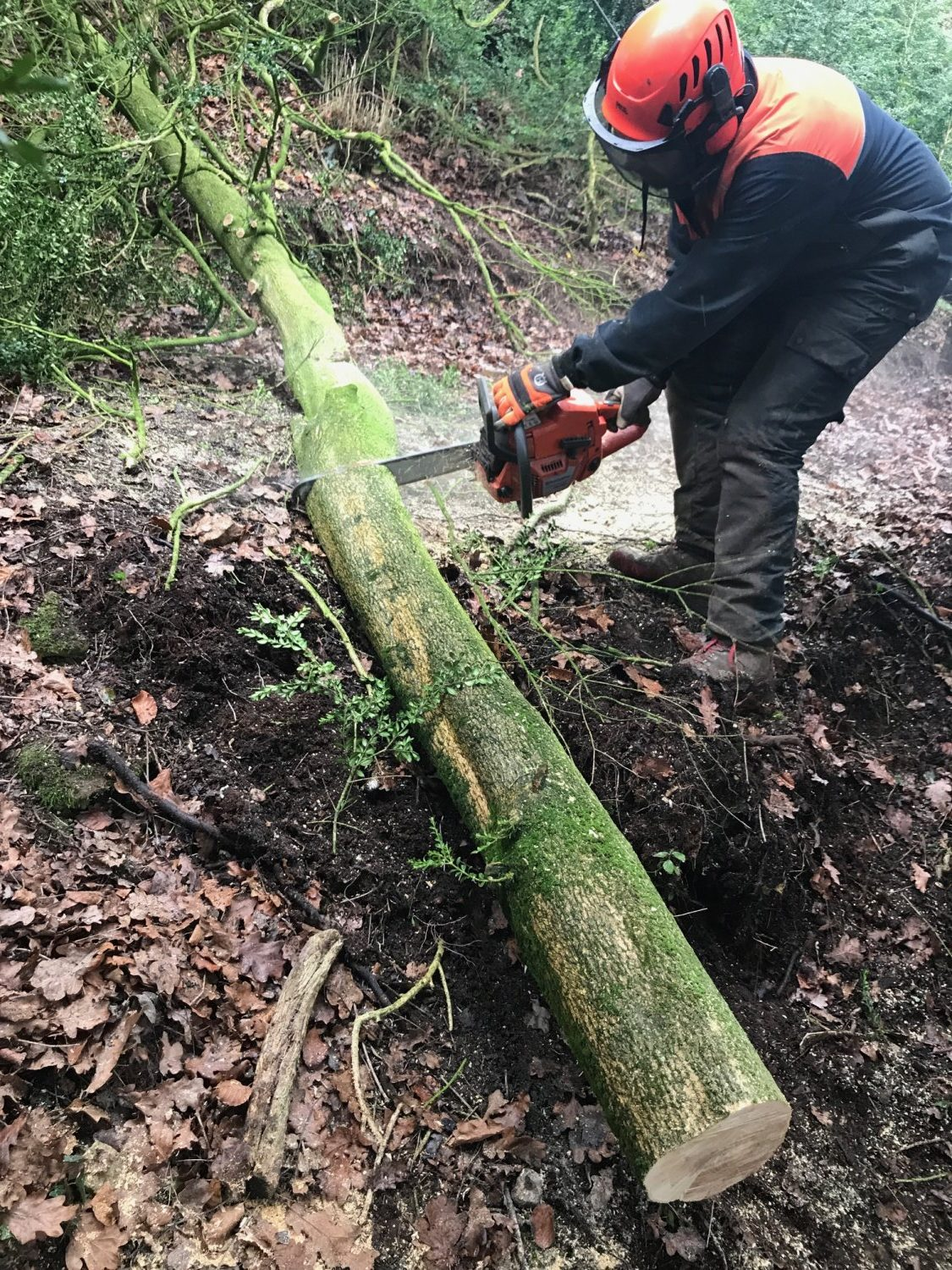 Simon Penna cutting sections from a felled boxwood tree