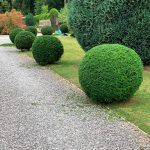 reshaping of Taxus baccata balls