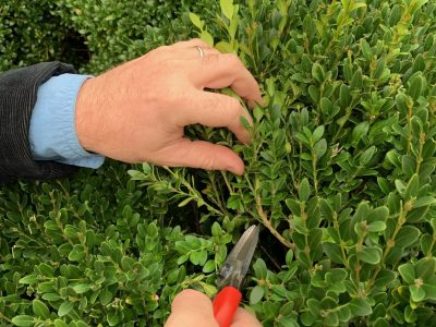 American Boxwood 1B late summer thinning close up