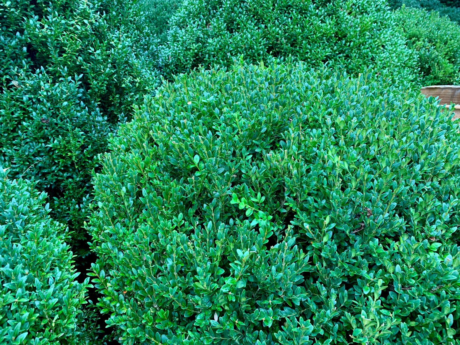 American Boxwood after late summer thinning