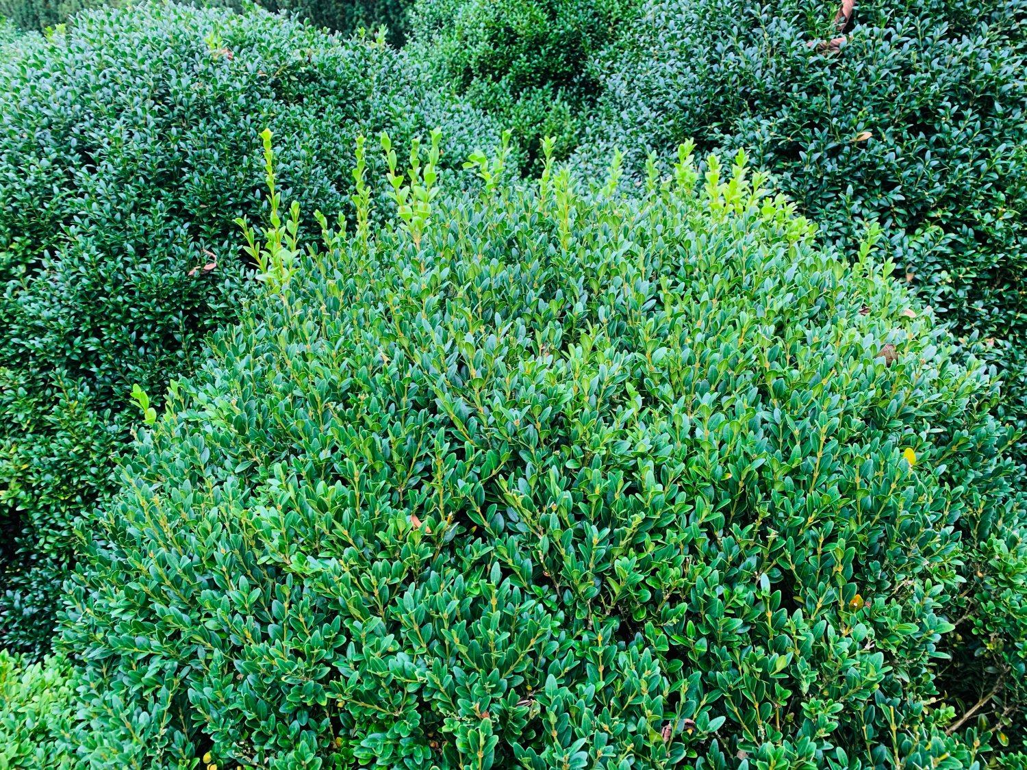 American Boxwood late summer before thinning & trimming