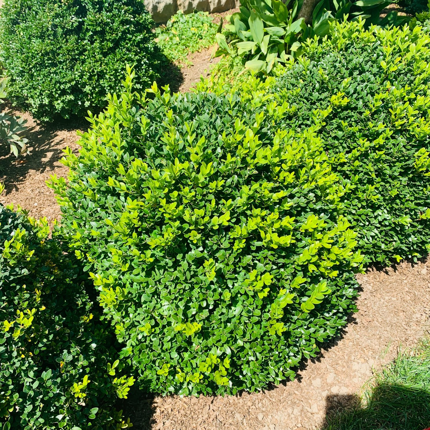 Green Velvet Boxwood late summer before thinning & clipping