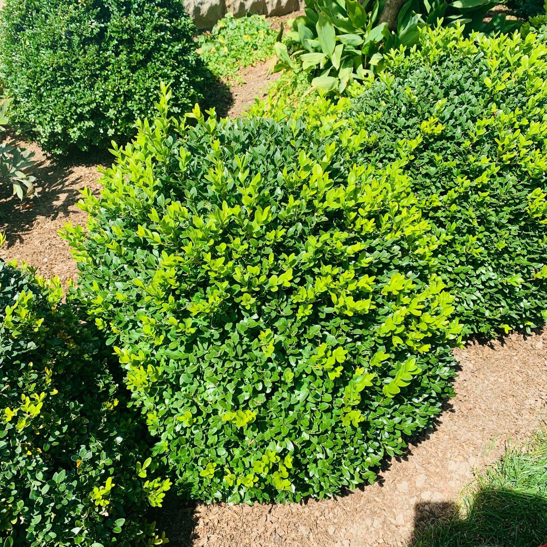 Green Velvet Boxwood late summer before thinning