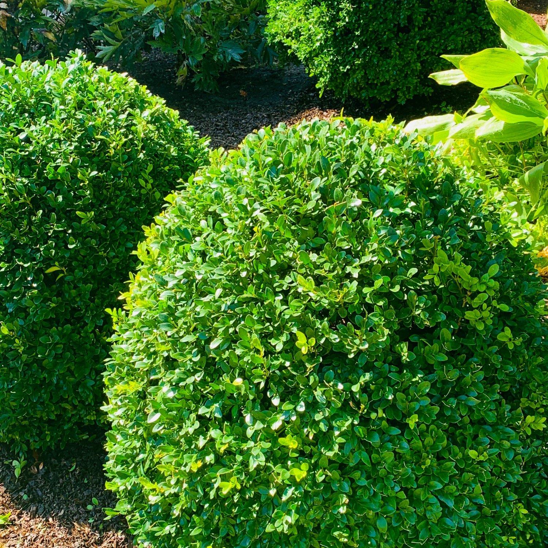 Green Velvet Boxwood late summer thinning