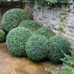 Cloud pruned hedge in London