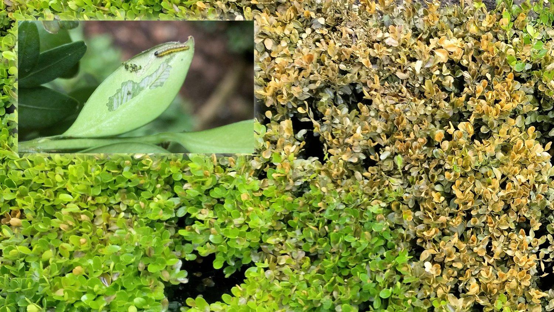 Baby box tree caterpillar and box blight