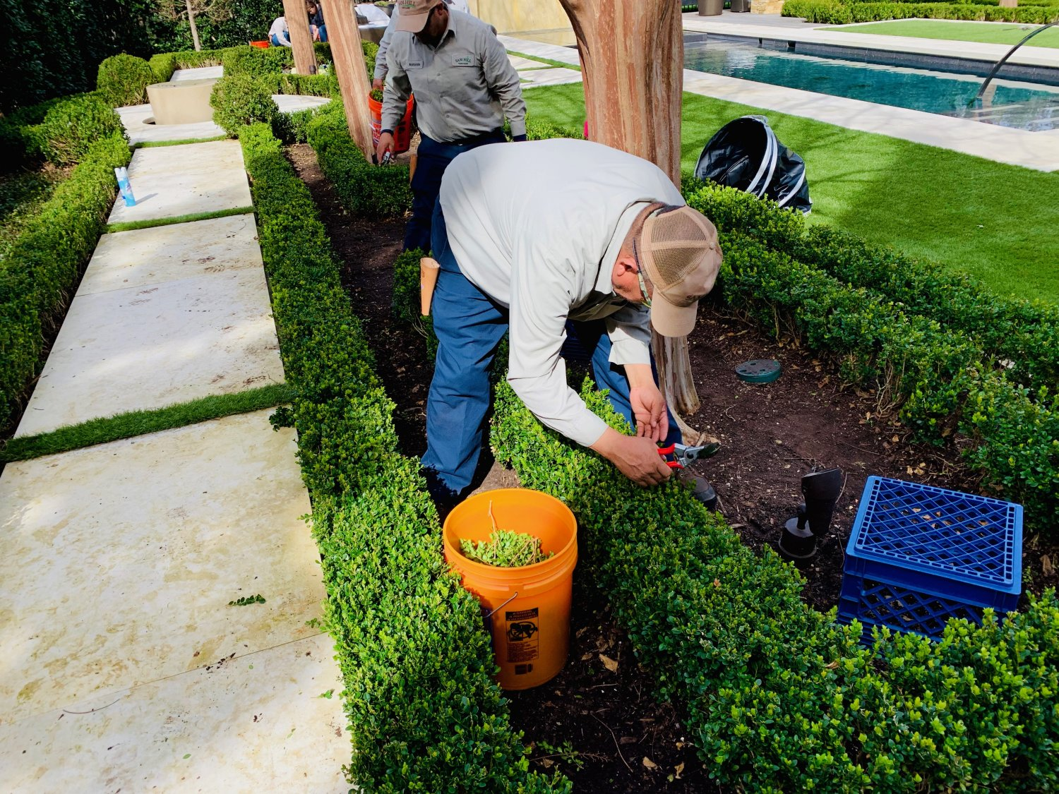 Japanese Boxwood parterre early spring thinning