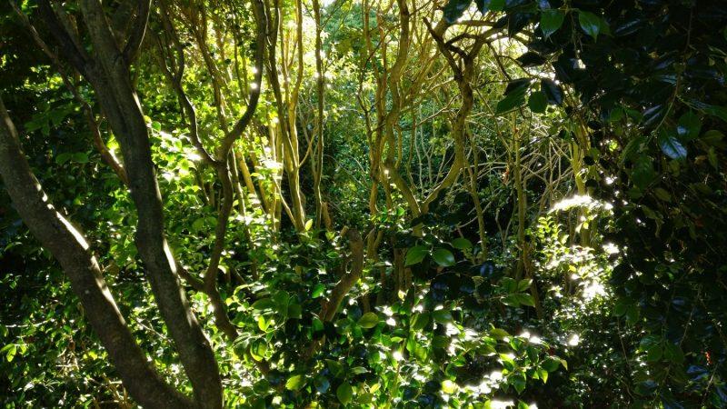 Camellia stems
