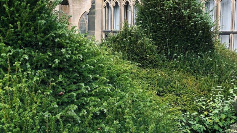 Part of the Yew in need of TLC