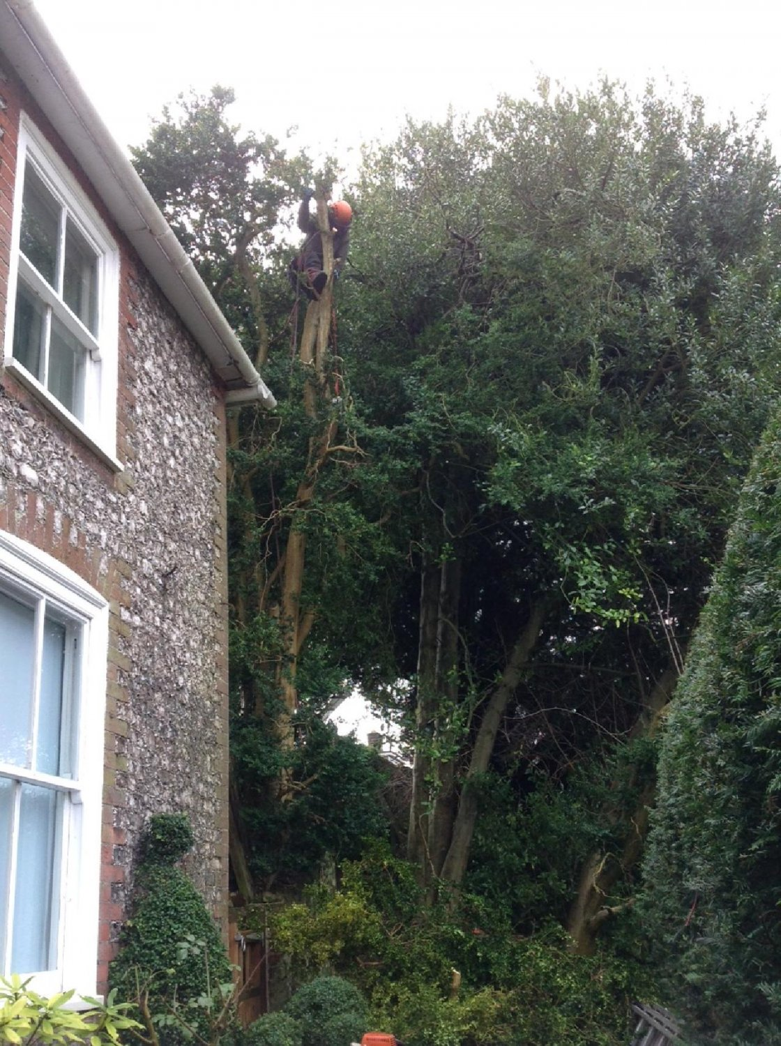 Felling these tall straight box trees began well with the tree surgeon perched in the upper branches, taking the weight off the crowns and working down the tree to avoid any damage to the lower stems and trunk.
