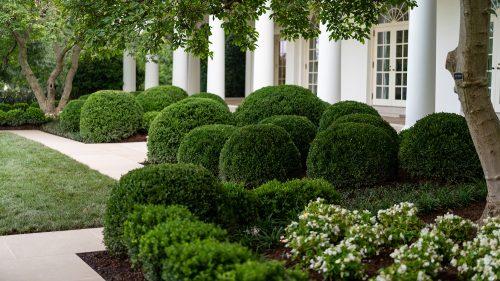 White House Rose Garden cloud planted NewGen Boxwood